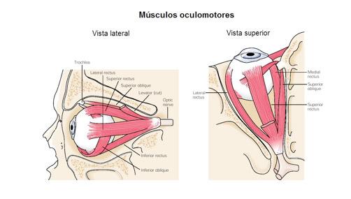 Musculos Oculomotores